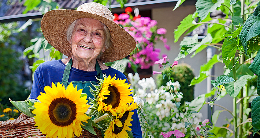 Woman smiling in garden with basket of picked sunflowers